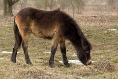 Wildes Pferd auf Wiese Lizenzfreie Stockfotos