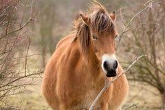 Wildes Pferd auf Wiese in Milovice Stockbild