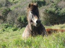 Wildes Pferd am Beachy Kopf Stockbilder