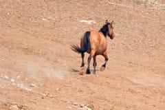 Wildes Pferd Bucht-des dunklen Wildleder-Hengstes, das in die Pryor-Gebirgswildes Pferdestrecke auf der Staatsgrenze von Montana  Stockbild