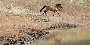 Wildes Pferd Bucht-des dunklen Wildleder-Hengstes, das nahe bei Wasserstelle in der Pryor-Gebirgswildes Pferdestrecke in Montana  Stockbilder