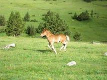 Wildes Pferd, das durch die Wiese läuft stockbilder