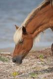 Wildes Pferd, das nach Lebensmittel sucht Lizenzfreie Stockbilder