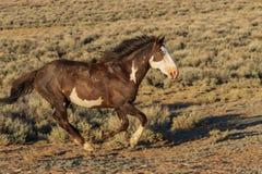 Wildes Pferd, das in Sand-Waschbecken Colorado läuft stockfotografie
