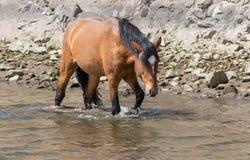 Wildes Pferd, das in Strom geht Lizenzfreie Stockbilder