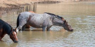 Wildes Pferd der Roan Stute der Bucht, das am waterhole in der Pryor-Gebirgswildes Pferdestrecke in Montana USA trinkt Lizenzfreies Stockbild
