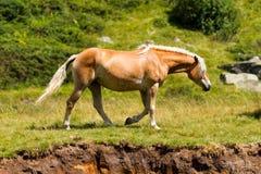 Wildes Pferd im Nationalpark von Adamello Brenta Stockfotografie