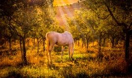 Wildes Pferd im olivgrünen Obstgarten Lizenzfreie Stockfotografie