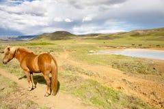 Wildes Pferd - Island Lizenzfreies Stockfoto