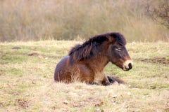 Wildes Pferd ist müde Stockfotos