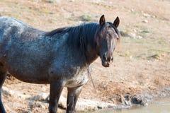 Wildes Pferd Leber-Kastanien-Bucht-Roan Stallions mit Wasser, das aus seinen Mund nachdem dem Trinken an der Wasserstelle in den  Stockfotografie