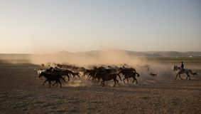Wildes Pferd lebt Betrieb im Schilf, kayseri, Truthahn in Herden stockfotos