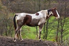 Wildes Pferd mit schlammigem Pelz stockfoto