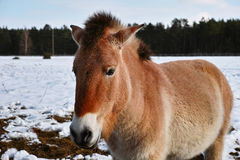 Wildes Pferd Przewalski im Winter Stockfotos