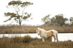 Wildes Pferd steht in den Sumpfgräsern auf Assateague-Insel, Marylan Stockfotografie