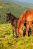Wildes Pferd und Fohlen auf dem Hügel Lizenzfreies Stockbild