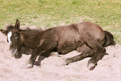 Wildes Pferdefohlen Stockbild