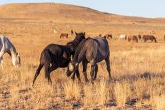 Wildes Pferdehengste, die in der Utah-Wüste sich auseinander setzen stockfotografie