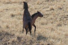 Wildes Pferdehengste, die in der Utah-Wüste sich auseinander setzen stockfotos