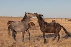 Wildes Pferdehengste, die in Utah sich auseinander setzen lizenzfreies stockfoto