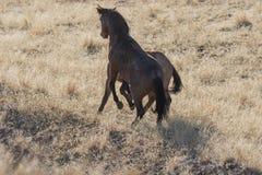 Wildes Pferdehengste, die in Utah sich auseinander setzen lizenzfreie stockbilder