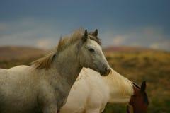 Wildes Pferden-Jährling Stockfoto
