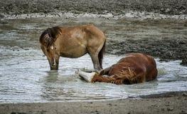 Wildes Pferdespielen des Sand-Waschbeckens Stockbilder