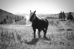 Wildes Pony Stockbild