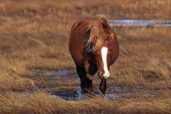 Wildes Pony Lizenzfreie Stockfotografie