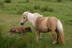 Wildes Pony mit Fohlen Stockbild