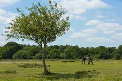 Wildes Pony und schöner Baum der neue Forest Hampshire England Großbritannien Lizenzfreies Stockbild