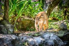 Wildes Puma Stockbild