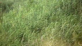 Wildes Reedbewegen mit dem Wind vom Meer stock video