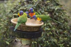 Wildes Regenbogen vier Lorikeets-Trichoglossus moluccanus an der Zufuhr stockfotografie