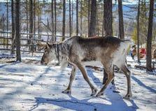 Wildes Ren am Winterwald stockbild