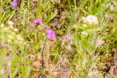 Wildes Rosa Dianthus Stockfoto