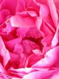 Wildes Rosa Rouse Stockfoto