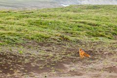 Wildes roter Fox-Vulpes Vulpes beringiana, das weg läuft Halbinsel Kamtschatka, Russland lizenzfreie stockfotos