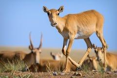 Wildes saiga Antilope saiga tatarica stockfoto