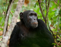 Wildes Schimpanseportrait Stockfoto