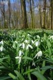 Wildes Schneeglöckchen des Frühlinges blüht Galanthus-nivalis, die im Wald nahe Dobrin an einem sonnigen Tag, Tschechische Republ Lizenzfreie Stockfotos