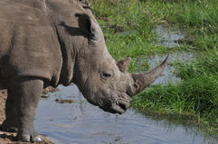 Wildes schwarzes Nashorn am Spelunken Lizenzfreie Stockfotos