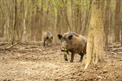Wildes Schwein Stockfotografie