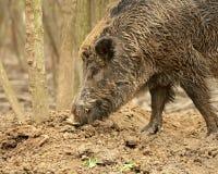 Wildes Schwein Stockfoto