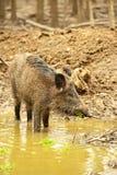 Wildes Schwein Lizenzfreies Stockfoto