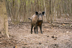 Wildes Schwein stockfotos