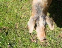 Wildes Schwein Stockbild