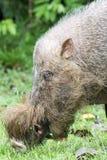 Wildes Schwein Borneos Lizenzfreies Stockbild