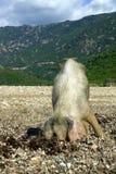Wildes Schwein, das nach Nahrung sucht Stockbild