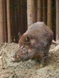Wildes Schwein Euroasian - Sus scrofa scrofa - im Herbstwald Lizenzfreie Stockbilder